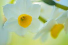 Chinese narcis-Narcissen tazetta Royalty-vrije Stock Afbeelding