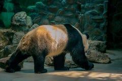 Chinese nationale schat reuzepanda stock afbeeldingen