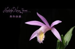 Chinese New Year background with Flower. Chinese New Year background with Pleione Orchid royalty free stock images