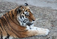 Chinese Northeast Tiger lying on the grass Royalty Free Stock Photography