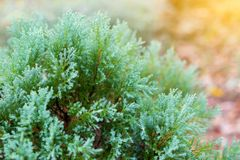 Chinese Oriental Arborvitae. Close-up view of Chinese Oriental Arborvitae, with beautiful early morning dew in a garden Stock Images
