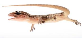 Chinese Oriental leaftoed gecko Royalty Free Stock Image