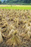 Chinese Paddy Field Royalty Free Stock Images