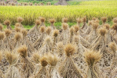 Chinese Paddy Field Royalty Free Stock Photo