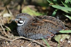 Chinese Painted Quail Stock Photography