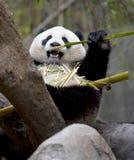Chinese panda bear eating bamboo, china Stock Photo