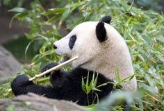 Chinese panda bear eating bamboo, china Stock Photography