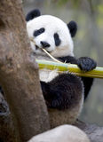 Chinese panda bear male juvenile eating bamboo Royalty Free Stock Image