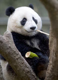 Chinese panda bear male juvenile eating bamboo Royalty Free Stock Images