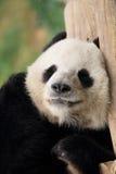 Chinese panda portrait Stock Photos