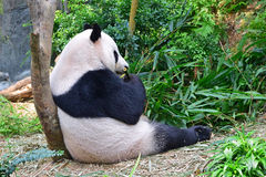 Chinese Panda sitting and leaning on tree trunk while eating bamboo Royalty Free Stock Photography