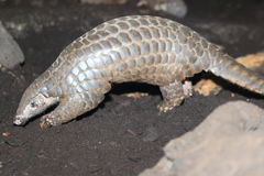 Chinese pangolin. Strolling in the soil stock image