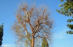 Chinese parvifolia van Iepulmus in Laguna Hout, Californië stock afbeelding