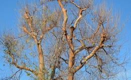 Chinese parvifolia van Iepulmus in Laguna Hout, Californië stock foto's