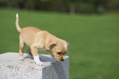 Chinese pastoral dog. Is one of the domestic dogs in China. Its shoulder height is about 40-55 centimeters and its weight is about 20-25 kilograms. The meat is royalty free stock photography