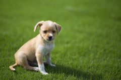 Chinese pastoral dog. Is one of the domestic dogs in China. Its shoulder height is about 40-55 centimeters and its weight is about 20-25 kilograms. The meat is royalty free stock images