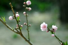 Chinese peach blossom in spring Royalty Free Stock Photo