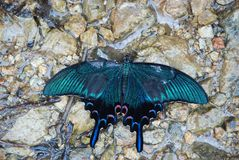 Chinese peacock swallowtail butterfly drinks from the small water spot between rocks stock photo