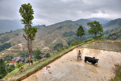 Chinese peasant with bull plowing flooded rice paddy. Royalty Free Stock Images