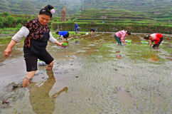 Chinese peasant woman on paddy-field with rice seedlings in hand Royalty Free Stock Photos