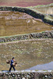 Chinese peasant woman is on path along flooded rice fields. Stock Photography