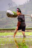 Chinese peasant woman with rose in hairdress, working the ricefield. stock photo