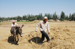 Chinese peasants threshing wheat Royalty Free Stock Photo