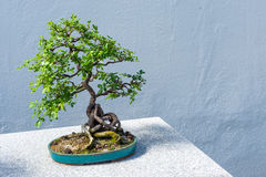 Chinese Peashrub Bonsai Royalty Free Stock Images