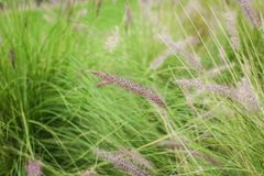 Chinese Pennisetum or swamp grass, Pennisetum alopecuroides with blurry green leaves background in garden.  stock photography