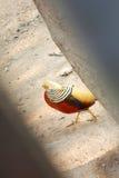 Chinese pheasant. Royalty Free Stock Image