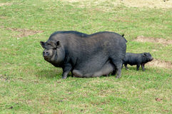 Chinese pig. With a child Stock Images