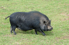 Chinese pig Royalty Free Stock Photography