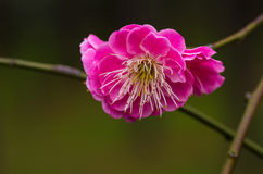 Chinese Plum Blossom Royalty Free Stock Image