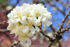 Chinese plum flowers blooming. Royalty Free Stock Images