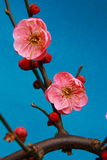 Chinese plum,mume Royalty Free Stock Image