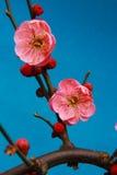 Chinese plum,mume Royalty Free Stock Image