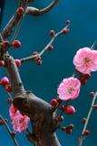 Chinese plum,mume Stock Photo