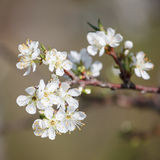 Chinese plum or Prunus mume Royalty Free Stock Photography