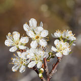 Chinese plum or Prunus mume Royalty Free Stock Images