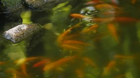Chinese pond with floating fish and stones stock video footage
