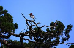 Chinese Pond-Heron Royalty Free Stock Images