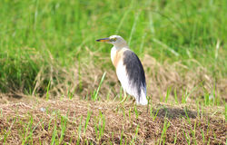 Chinese Pond Heron Royalty Free Stock Photo