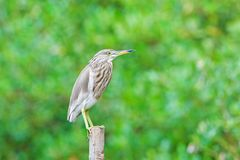 Chinese Pond Heron Stock Image