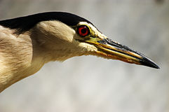 Chinese Pond-Heron Stock Photo