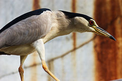 Chinese Pond-Heron Stock Image