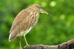 Chinese Pond Heron :Ardeola bacchus Royalty Free Stock Image