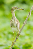 Chinese Pond Heron Stock Photos
