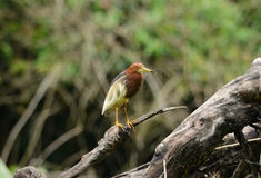 Chinese Pond Heron (Ardeola bacchus) Royalty Free Stock Photography
