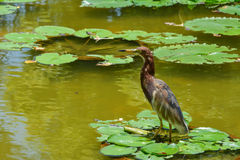 Chinese Pond Heron (Ardeola bacchus). At clump of water lily Stock Image