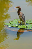 Chinese Pond Heron (Ardeola bacchus). At clump of water lily Stock Photography